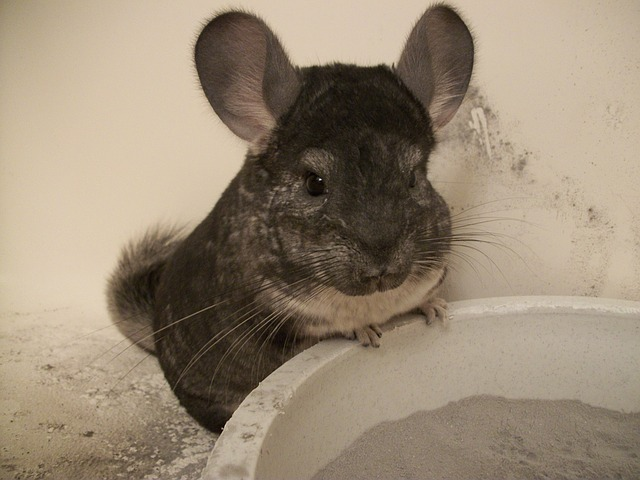 Chinchillas and Dust Baths – Use Volcanic Ash to Clean Your Pet